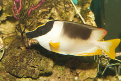 Magnificent Foxface or Rabbitfish in Aquarium Royalty Free Stock Photos