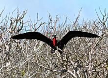 Magnificent Frigate bird (Galapagos) Stock Photography