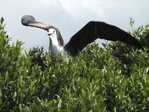 Magnificent Frigate Bird. Female Magnificent Frigate Bird ready to fly, Frigate Bird Sanctuary, Barbuda, Caribbean Royalty Free Stock Image