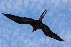 Magnificent frigate bird in flight Stock Photography