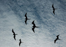 Magnificent frigate birds Royalty Free Stock Photos