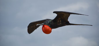 Magnificent Frigatebird Royalty Free Stock Photos