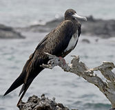 Magnificent frigatebird 2 Stock Photos