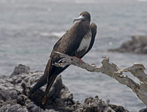 Magnificent frigatebird 3 Stock Photo