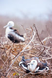 Magnificent frigatebird chicks Stock Photos