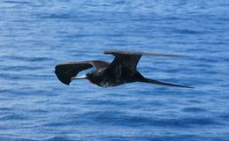 Magnificent Frigatebird in Flight Over the Galapag Royalty Free Stock Photography
