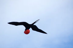 Magnificent Frigatebird (Fregata magnificens) Stock Photo