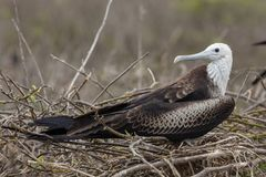 Magnificent Frigatebird in Galapagos Islands stock images