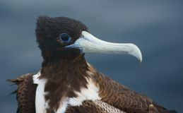Magnificent Frigatebird in the Galapagos Stock Image