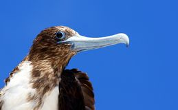 Magnificent Frigatebird in the Galapagos Stock Photo