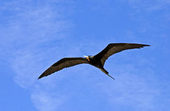 Magnificent frigatebird sailing in the sky royalty free stock image