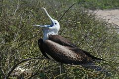 Magnificent frigatebird young, Galapagos Royalty Free Stock Photography
