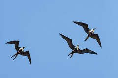 Magnificent Frigatebirds at Play Royalty Free Stock Image