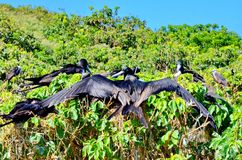 Magnificent Frigatebirds. Sitting on a tree on Isla Isabel, Mexico royalty free stock photos