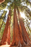 Magnificent giant sequoia trees, sequoia national park,california Royalty Free Stock Photography