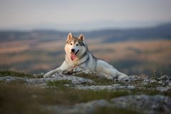 The magnificent gray Siberian Husky lies on a rock in the Crimea Stock Photo
