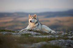 The magnificent gray Siberian Husky lies on a rock in the Crimea Royalty Free Stock Images