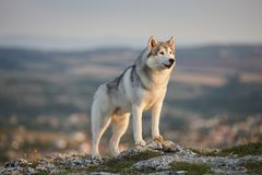 The magnificent gray Siberian husky stands on a rock in the Crimean mountains against the backdrop of the forest and mountains. A stock images