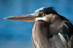 Magnificent Great Blue Heron Stock Photo