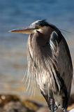 Magnificent Great Blue Heron Royalty Free Stock Photography