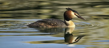 Magnificent great crested grebe Stock Images