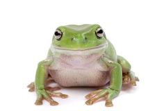 Magnificent green tree frog, Litoria splendida, on Stock Photo