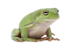 Magnificent green tree frog, Litoria splendida Stock Image