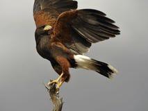 Magnificent Harris`s Hawk Stock Photo
