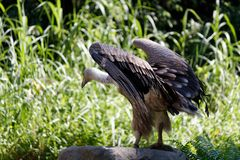 The magnificent hooded vulture. The hooded vulture is an Old World vulture in the order Accipitriformes, which also includes eagles, kites, buzzards and hawks royalty free stock photography