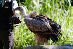 The magnificent hooded vulture. The hooded vulture is an Old World vulture in the order Accipitriformes, which also includes eagles, kites, buzzards and hawks stock photo