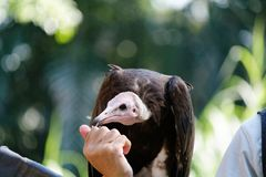 The magnificent hooded vulture. The hooded vulture is an Old World vulture in the order Accipitriformes, which also includes eagles, kites, buzzards and hawks royalty free stock photo
