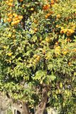 A magnificent huge orange tree with ripe orange fruits in Spain. Ripe tasty fruit, green foliage, powerful trunk, fruit, close-up, beautiful view. Winter royalty free stock image