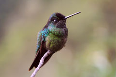 Magnificent Hummingbird Royalty Free Stock Photography