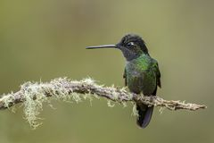 Magnificent Hummingbird - Eugenes fulgens. Beautiful colorful  hummingbird from Central America forests, Costa Rica Stock Images