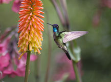 Magnificent Hummingbird Eugenes fulgens Stock Photos