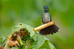 Magnificent Hummingbird, Eugenes fulgens, nice bird on moss branch. Wildlife scene from nature. Jungle trees with small animal. Hu stock photo