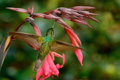 Magnificent Hummingbird, Eugenes fulgens, nice hummingbird, flying next to beautiful red flower with ping flowers in the backgroun Stock Images