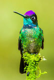Magnificent Hummingbird. Vertical Composition of a Male Magnificent Hummingbird Perched on a Mossy Stump Royalty Free Stock Image