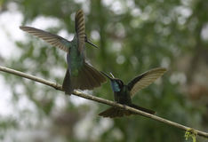 Magnificent Hummingbirds Fighting (Eugenes fulgens) Royalty Free Stock Image