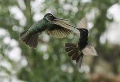 Magnificent Hummingbirds Fighting (Eugenes fulgens) stock photos