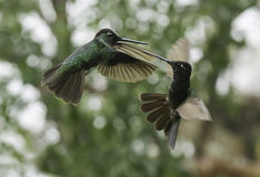 Magnificent Hummingbirds Fighting (Eugenes fulgens) Stock Photos