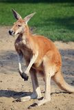 A magnificent kangaroo standing on two legs stock images