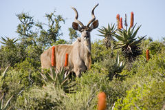 Magnificent Kudu. Rare portrait of a magnificent Kudu bull with curling horns, standing between some bushes Royalty Free Stock Photography