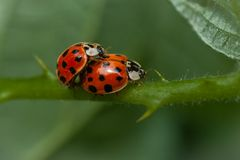 The magnificent ladybird in specific season. In this gleaming image you will find the amazing close-up of Ladybugs in specific season.   You will also find the Royalty Free Stock Photos
