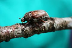 A magnificent large cockchafer insect beetle Royalty Free Stock Image