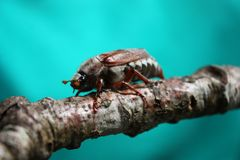 A magnificent large cockchafer insect beetle Royalty Free Stock Photos