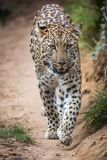 Magnificent Leopard Big Cat Stock Photos