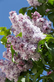 Magnificent lilac branch. In the garden inside the Moscow Kremlin Royalty Free Stock Images