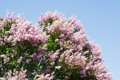 Magnificent Lilac tree. On blue sky Royalty Free Stock Images