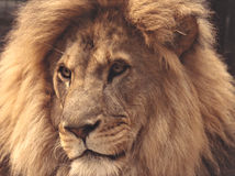 Magnificent Lion. Close up of male lion Stock Photos